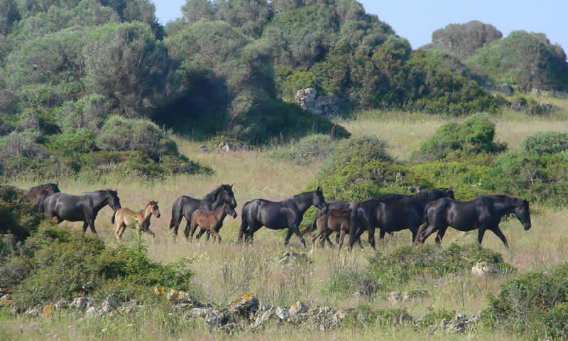 Menorcan_Horses-2